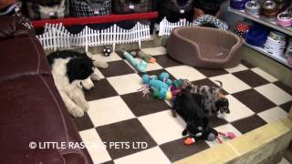 Little Rascals Uk Breeders New Litter Of Miniature Dachshund Pups - Puppies For Sale 2016