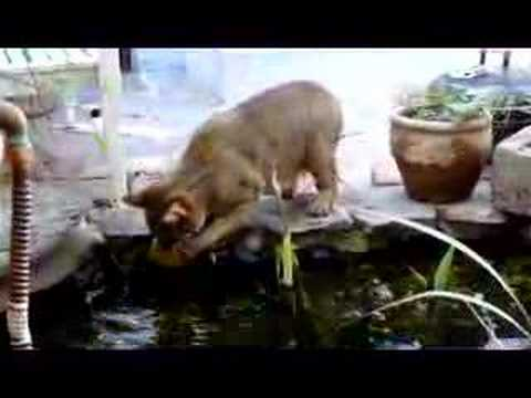 Clive F1 chausie cat and the pond revisited