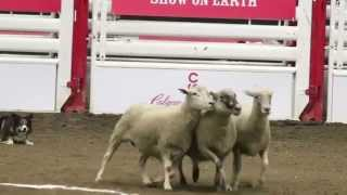2015 World Stock Dog Championship - Calgary Stampede