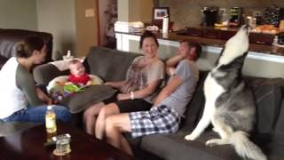 Baby Laughing At A Howling Siberian Husky!