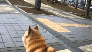 父さん!に反応するかい(北海道犬)。 周りをキョロキョロと父さんを探...