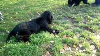Englisch Cocker Spaniel Welpen 5 Monate Auf Dem Hundeplatz