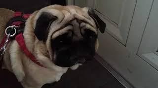 パグ犬ムゥを散歩に連れていきます。でもちょっと意地悪してみました。...