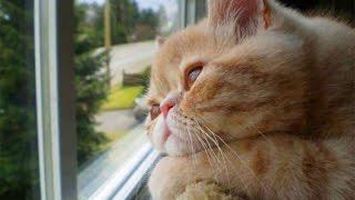 КОШКА У ОКОШКА (CAT AND WINDOW)