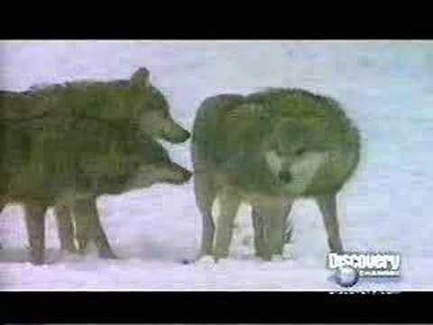 Discovery Channel Wolves Tied Mating Youtube