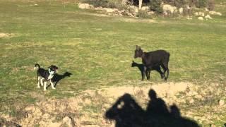 Video Perro contra cabra download MP3, 3GP, MP4, WEBM, AVI, FLV November 2017