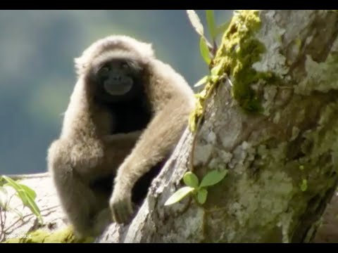 Discovering Gibbons | Expedition Borneo | BBC