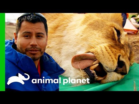 Four Feisty Lionesses Get Their New Contraceptive Implants | Dr. Jeff: Rocky Mountain Vet