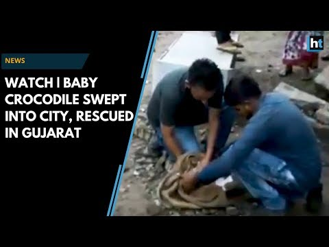 Watch | Baby Crocodile Swept Into City Because Of Rain Rescued In Gujarat