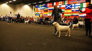Movement- GCH. ALEX ALERT ARGO BULL   dog over 2 years