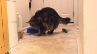 cat cucumber compilation