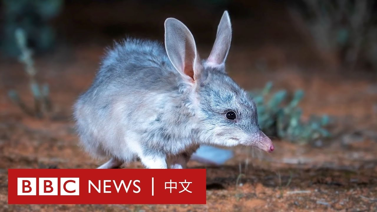 兔耳袋狸:重獲新生的澳大利亞瀕危小動物- BBC News 中文