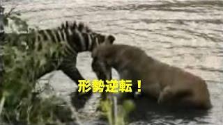 【衝撃】形勢逆転!シマウマがライオンにロックオン!