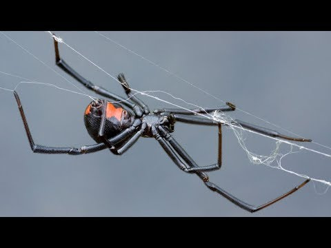 Black widow spider found in grapes by Newfoundland woman