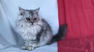Персидская принцесса.Чистокровная классическая персидская кошка