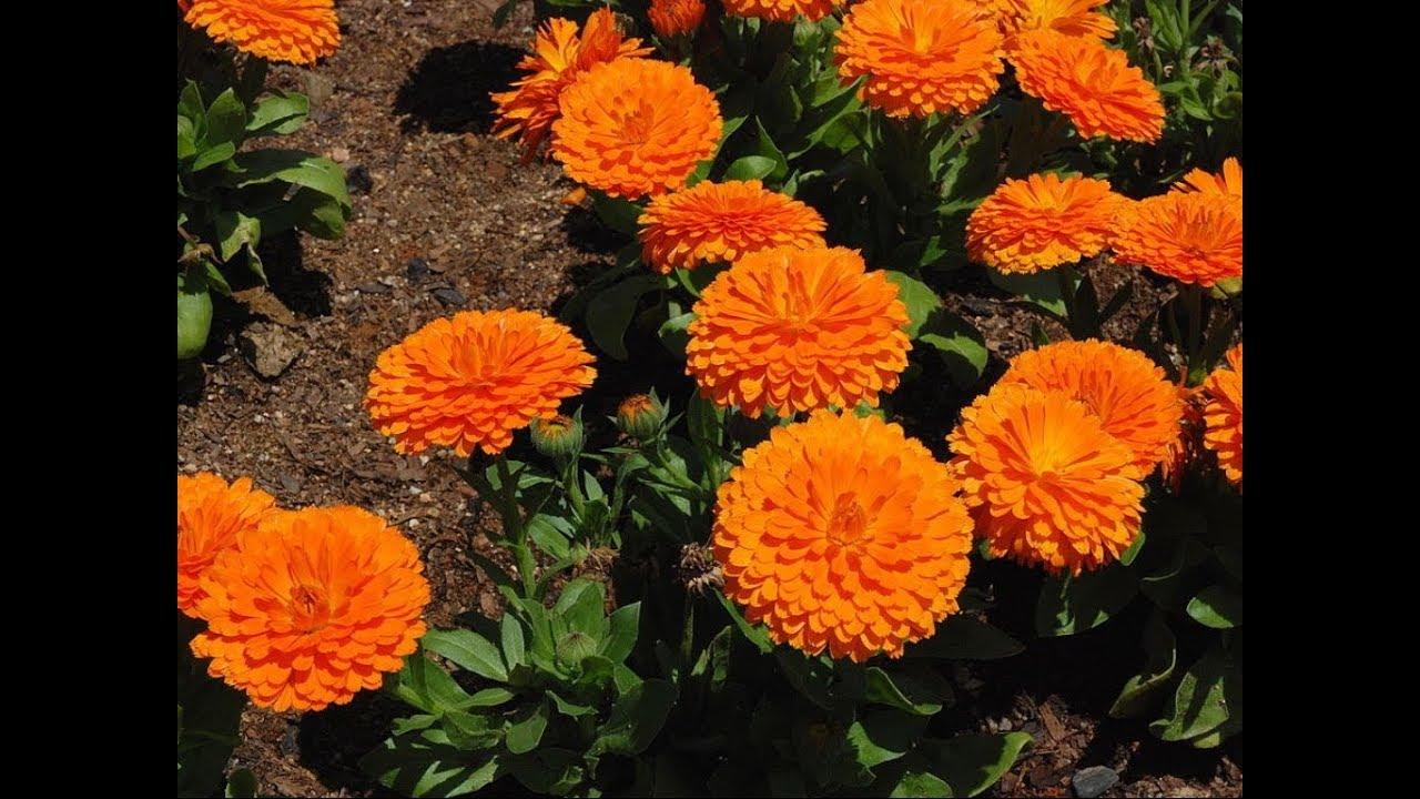 335117b62 Amazing and Most Beautiful Calendula Flowers | English marigold ...