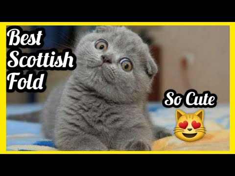 Cute Scottish Fold Compilation , Kitten Scottish Fold , Funny Cat Video