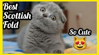Cute Scottish Fold Compilation #38 , BABY SCOTTISH FOLD, Funny Cat Video