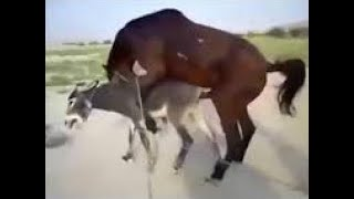 #Share_the_vidio_please_thanks_bto   donkey amazing video horse |donkey mating murrah August 2020