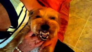 Perro risitas