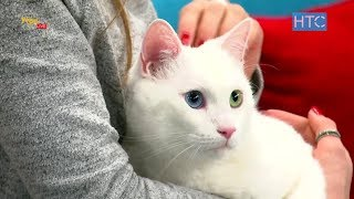 Порода белых кошек с разноцветными глазами - Турецкий ван / УтроLive / НТС