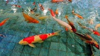 IKAN KOI BESAR Hana Kasih Makan Ikan Koi di Kolam Main Ikan Hias