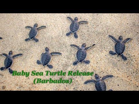 Baby Sea Turtle Release Barbados Sea Turtle Project Youtube