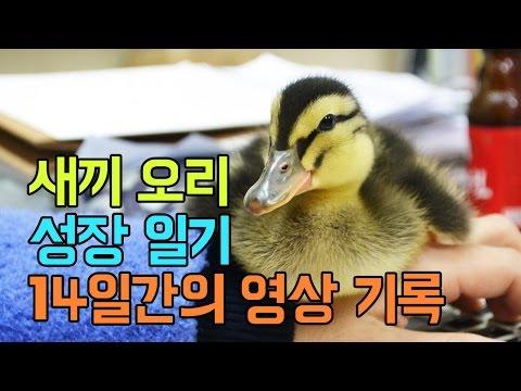 [새끼 오리 키우기] 오리 성장 일기 14일간의 �
