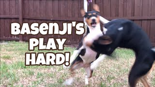 Basenji's Play Hard!