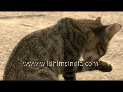 Indian street cats play inside the courtyard of a house