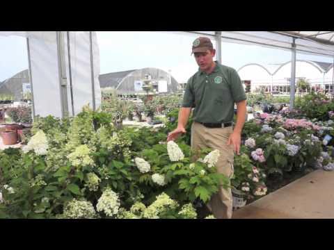 All About Hydrangeas