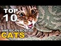 TOP 10 CUTE AND FUNNY AMERICAN BOBTAIL CATS BREEDS