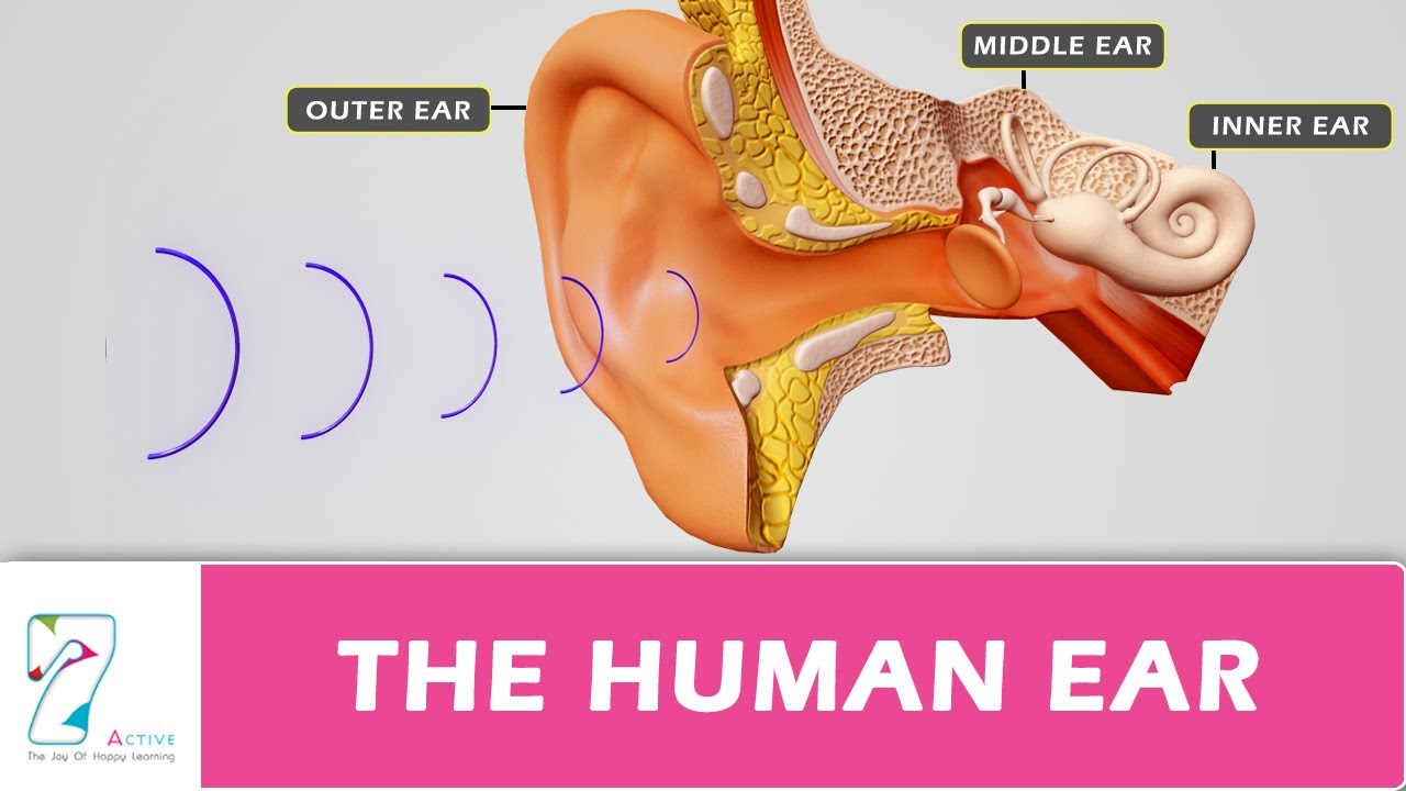 The human ear youtube the human ear ccuart Images