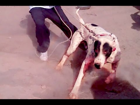 huge-bully-kutta---loyal-and-protective-bully-kutta