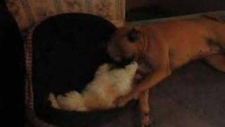 Shih Tzu Bichon Dog Wrestling With A Boxer Dog With A Tail