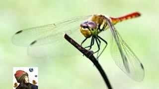 トンボの捕まえ方!うずまきグルグルトンボ取り|Catch a dragonfly