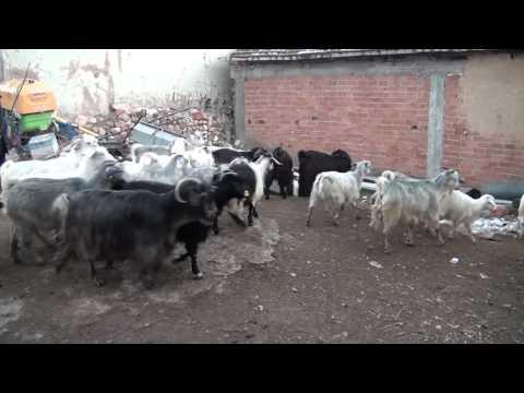 Haydar Şenkal (Tokat/Zile Köyü)