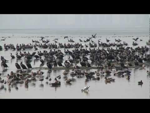 Great Cormorants Mudflats
