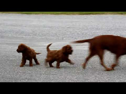 Havanese Puppies For Sale | FunnyDog TV