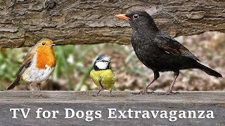 TV for Dogs - Birds Galore Video Produced by Paul Dinning Filmed in...