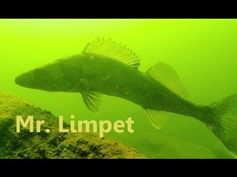 SCUBA Diving: Potomac River Freshwater Fish