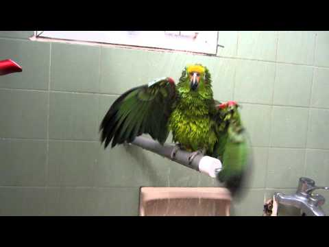 Sunshine the yellow crowned amazon parrot having a shower.