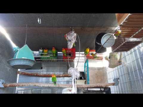 chim két đẹp hót (lovebirds singing ) chim của tô i.2013 .