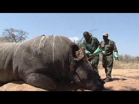 South Africa moves 500 rhinos from Kruger National Park to combat poachers