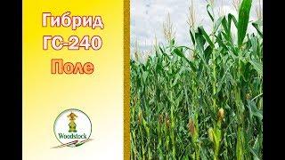 Кукуруза ВУДСТОК. Гибрид ГС-240. ФАО 240.