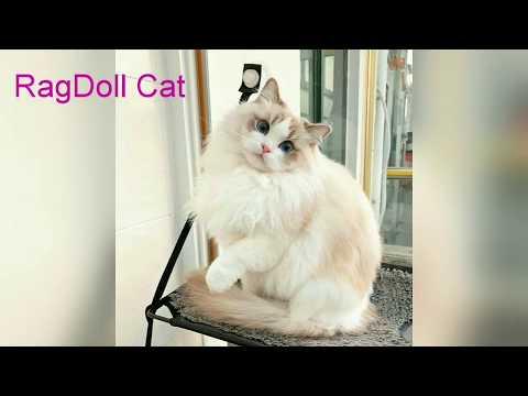 Top 10 Cutest Cats Breeds