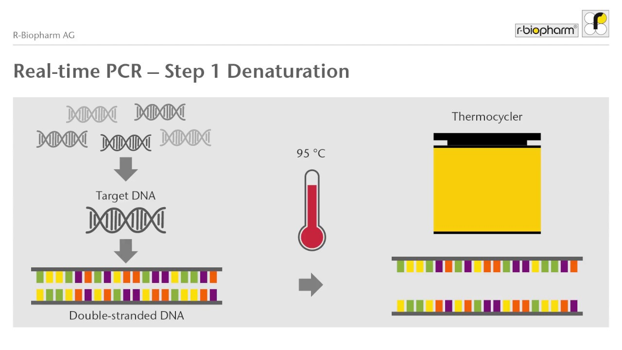 Real-time PCR explained (Animation)