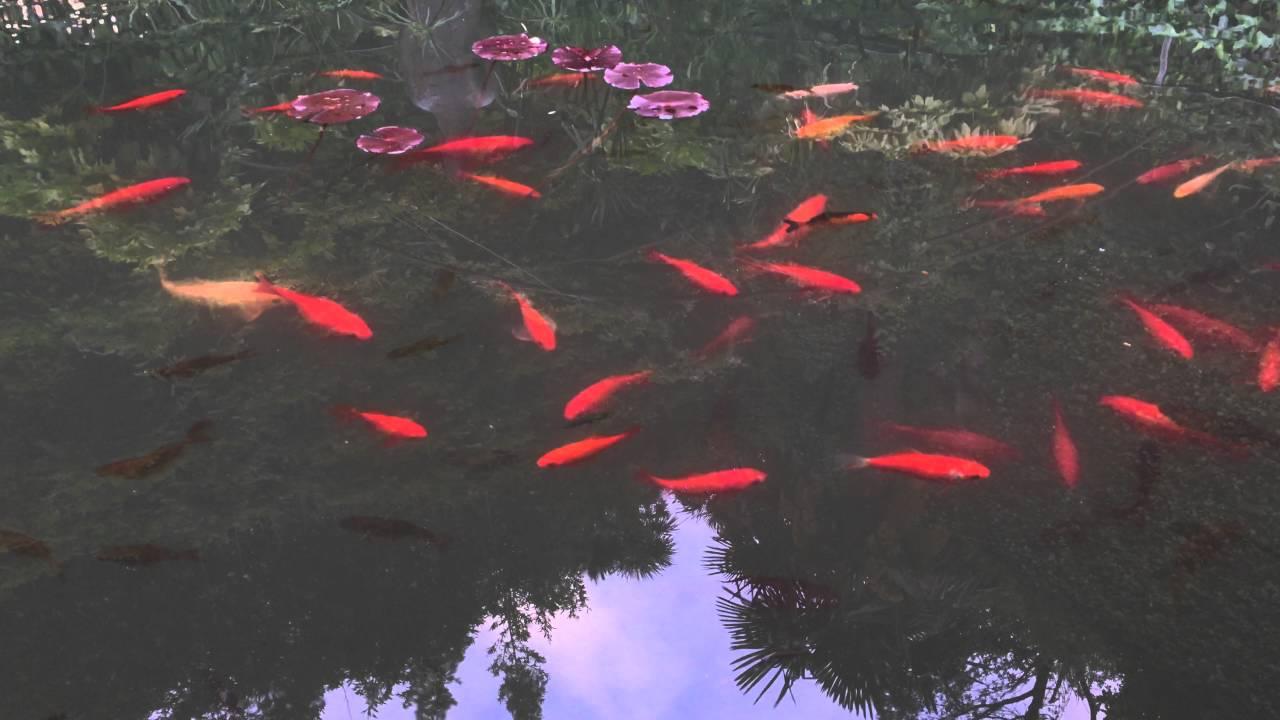 Laghetto pesci rossi nel giardino delle rose a firenze for Riproduzione pesci rossi in laghetto