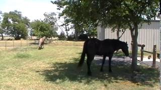 Horse Psychic Readings - Inspecting Horse Poop - Doing Maintenance Hoof Trims