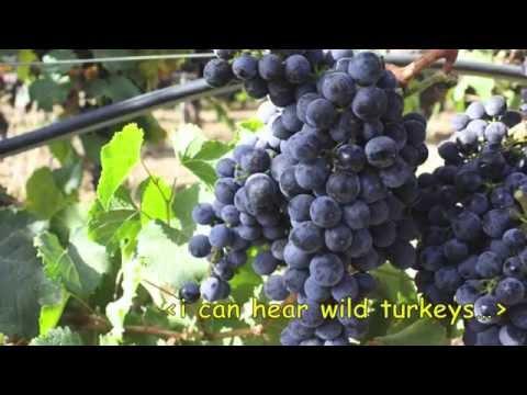Malbec Grapes Growing